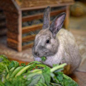 konijnen eten