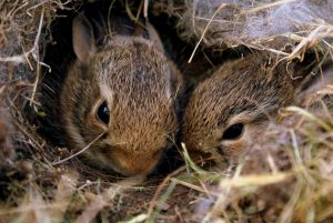 konijnenren