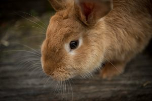 leeftijd konijnen
